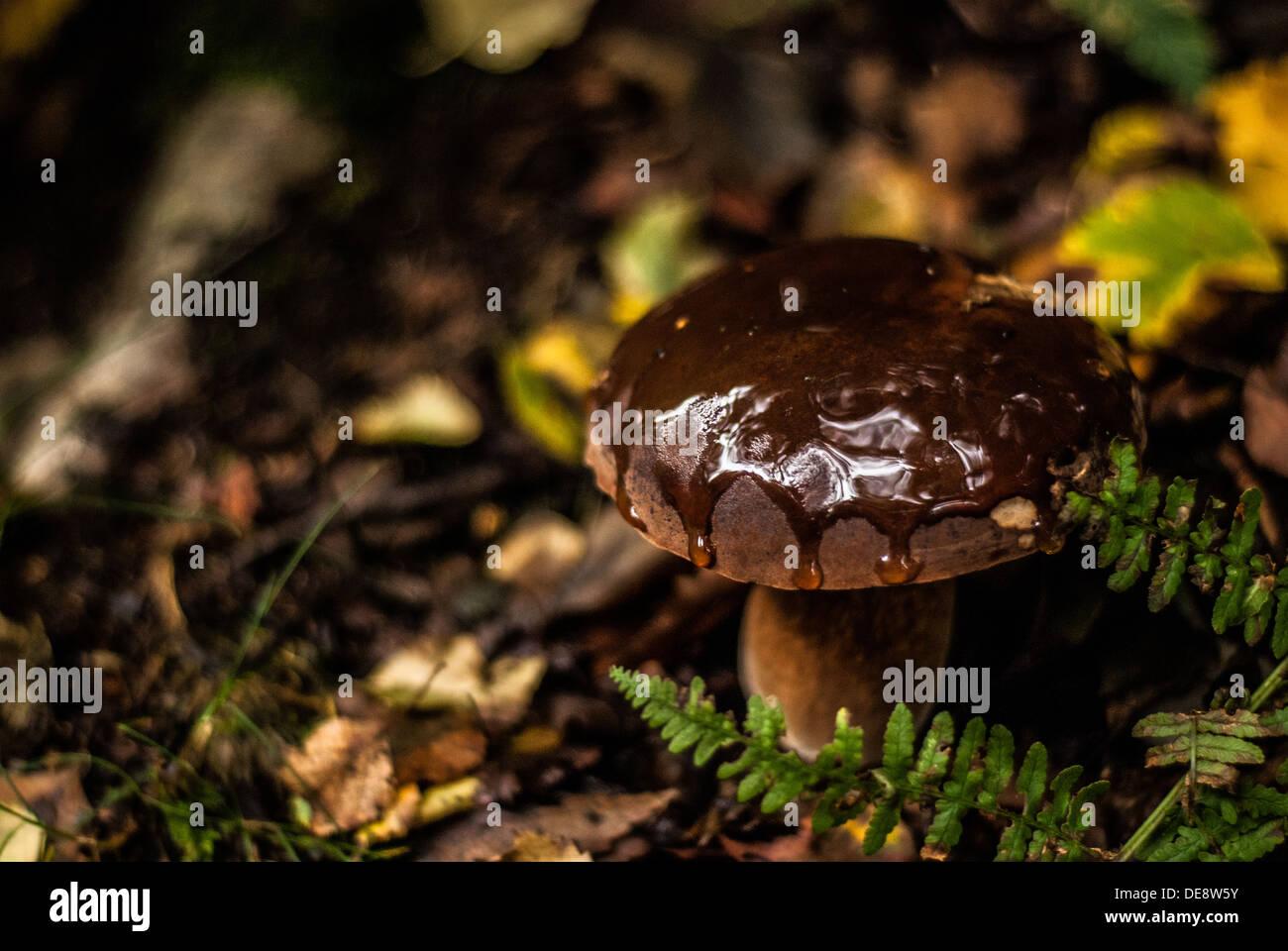Larch Bolete, Wild Mushrooms, Fungi UK - Stock Image