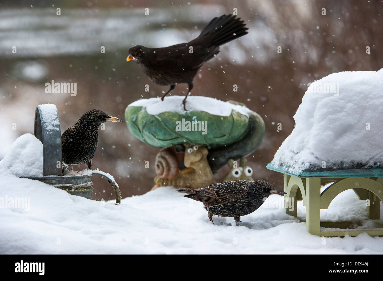 Starling (Sturnus vulgaris) and Eurasian Blackbird (Turdus merula) female at garden bird feeder during snow shower in winter - Stock Image