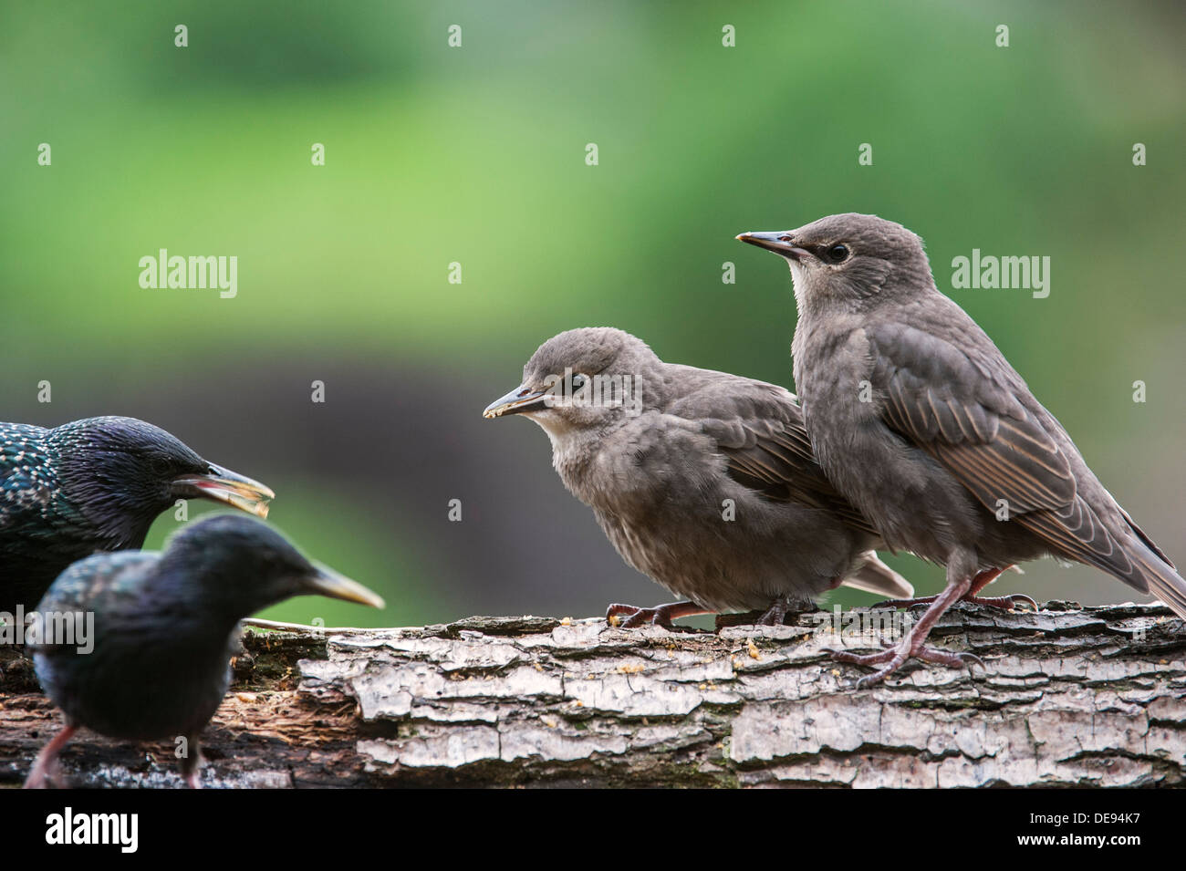 Two Common Starling / European starlings (Sturnus vulgaris) fledglings begging adult birds for food in spring - Stock Image