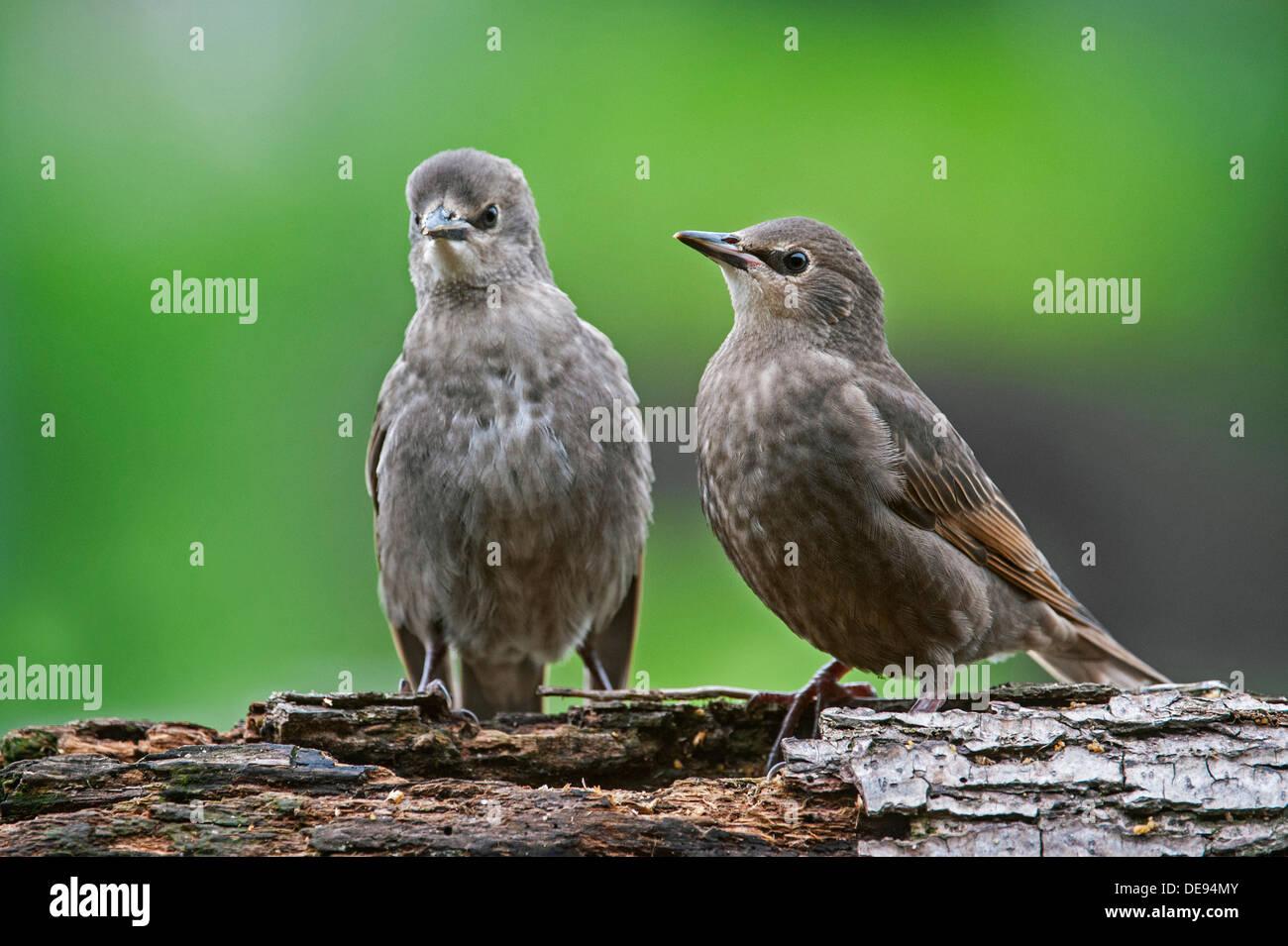 Two Common Starling / European starlings (Sturnus vulgaris) fledglings perched in tree in spring - Stock Image