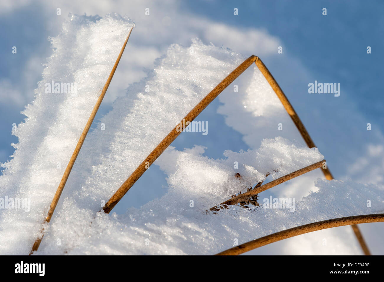 White hoar frost / hoarfrost forming on grass stems pointing in same direction due to the wind in winter - Stock Image