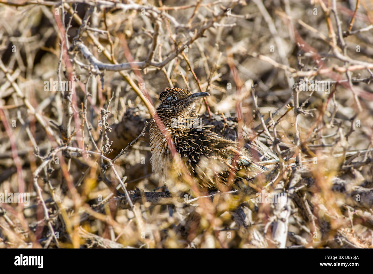 Well camouflaged roadrunner [geococcyx californianus] looks out from hiding place in brush Furnace Creek Death Valley National Park, California, USA. - Stock Image
