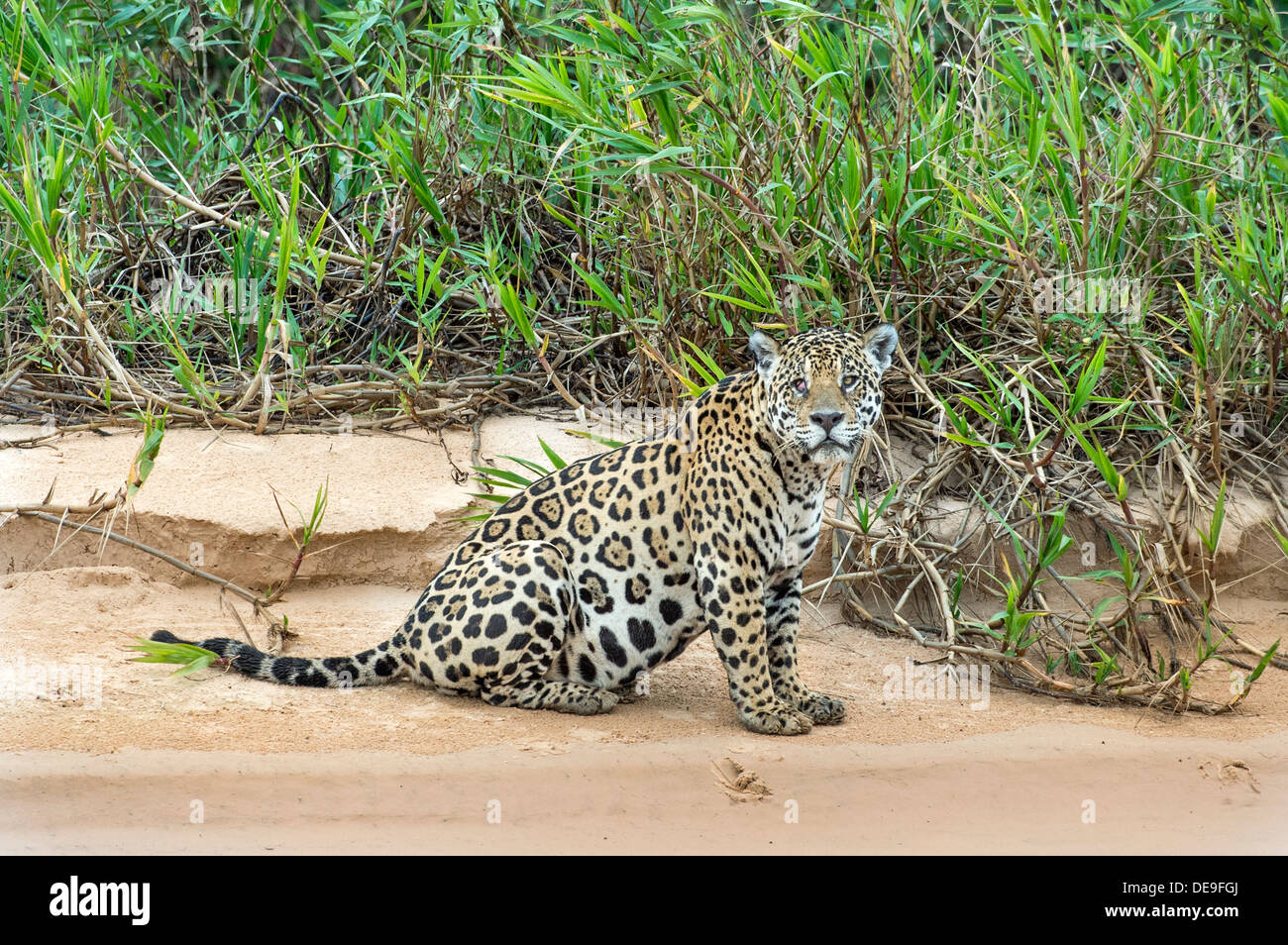 Male jaguar sitting on edge of river in Pantanal region of Brazil - Stock Image