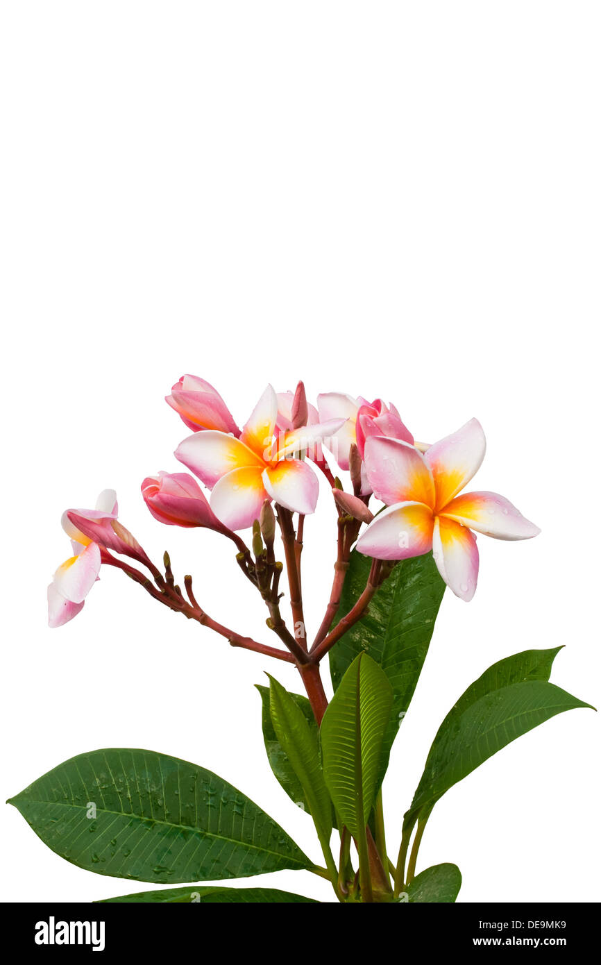 lei, spa, isolated, tropics, odor, park, tropical, white, petal, aloha, flower, yellow, south, orange, perfume, blossom, element - Stock Image