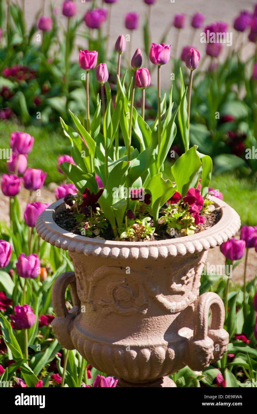 Tulips in a Garden and Planter, Cheshire, England, UK - Stock Image