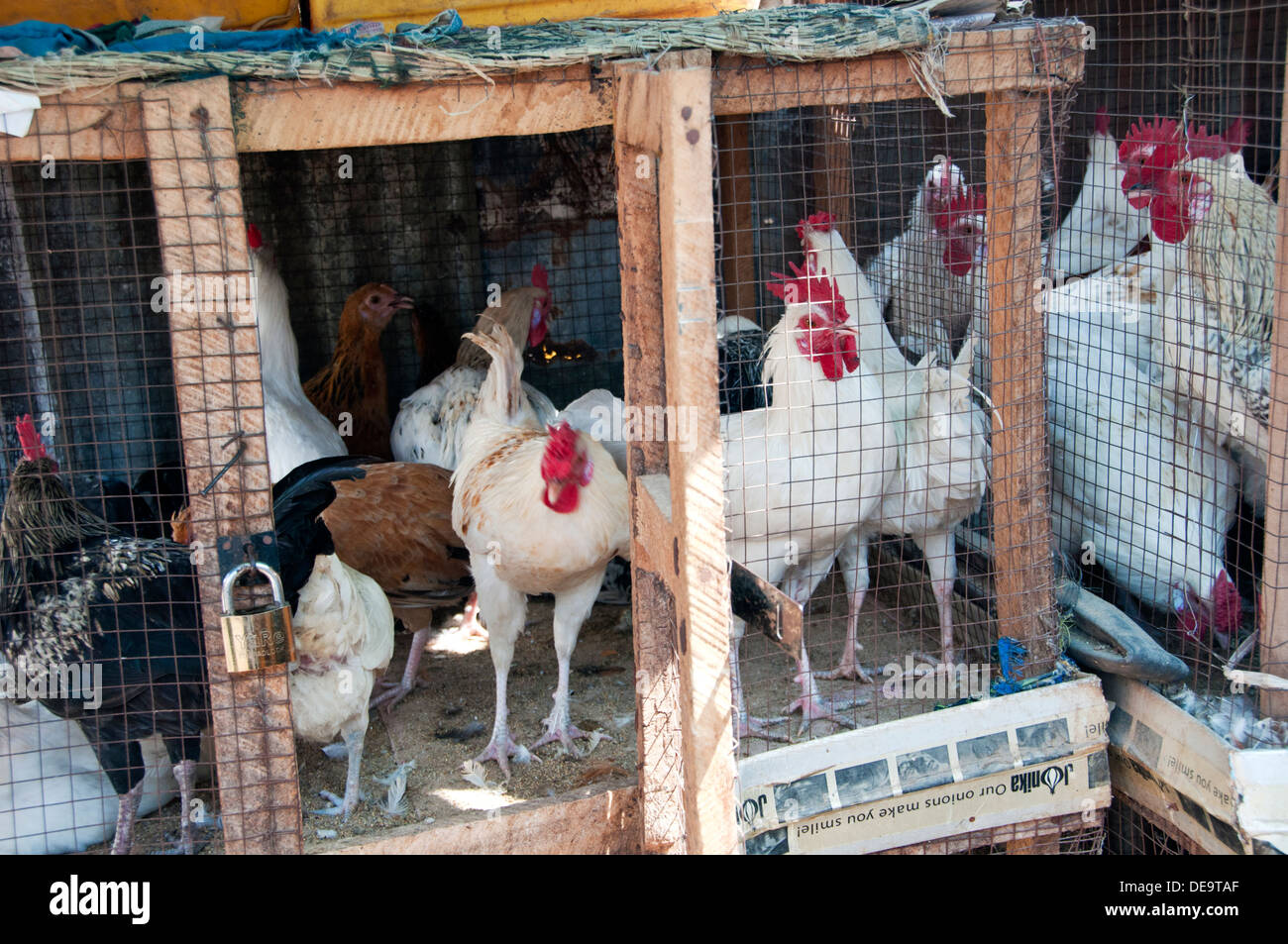 Chickens in Overcrowded Conditions in Cage, Serrekunda Market, The Gambia, West Africa - Stock Image