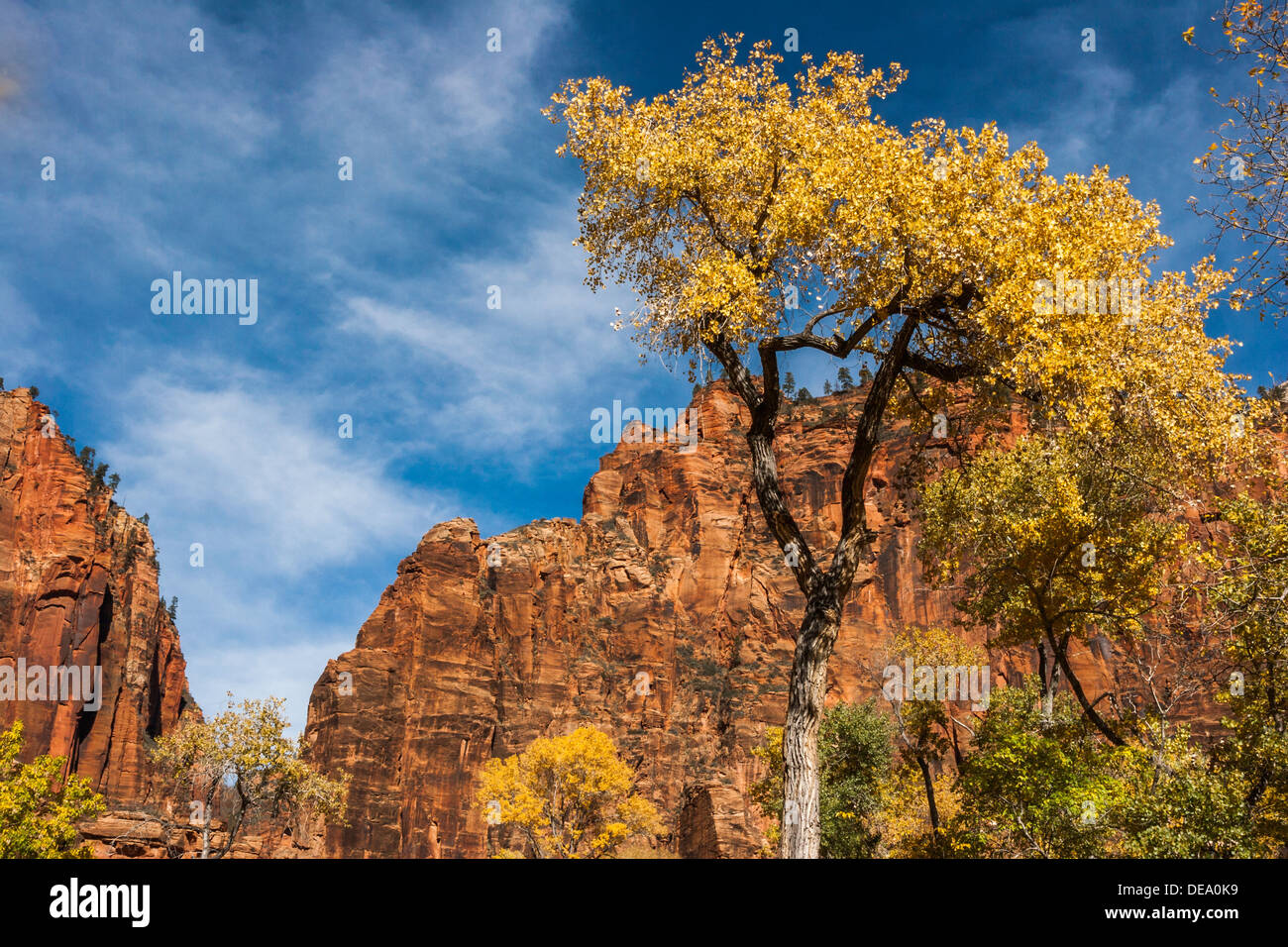 Cottonwood tree with autumn colours in sandstone canyon, Zion National Park, Utah, UT, USA - Stock Image