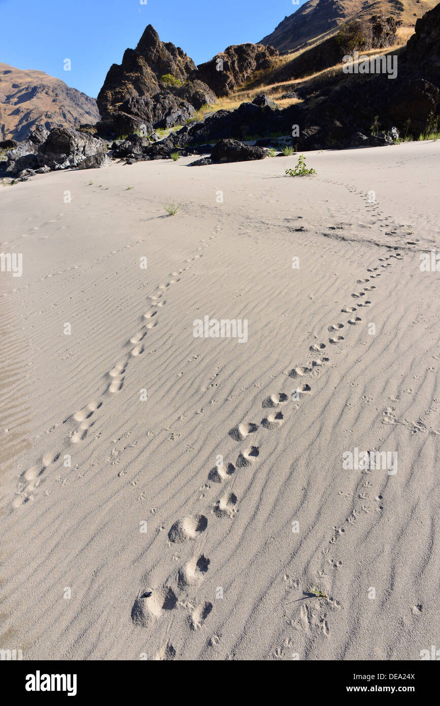 Animal tracks on a beach in Hells Canyon, Oregon. - Stock Image