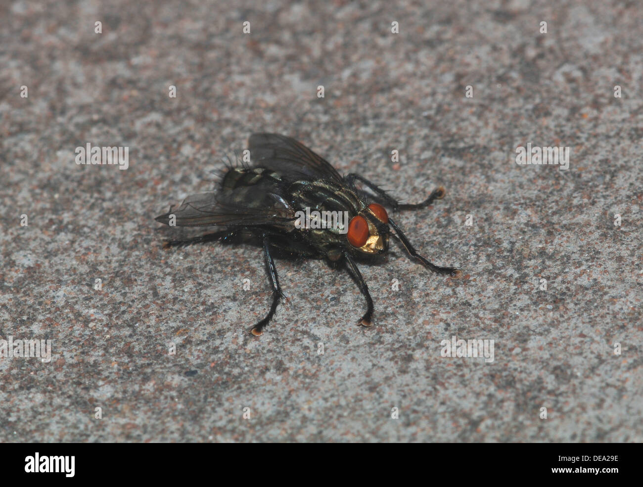 Common House-Fly. (musca domestica) - Stock Image