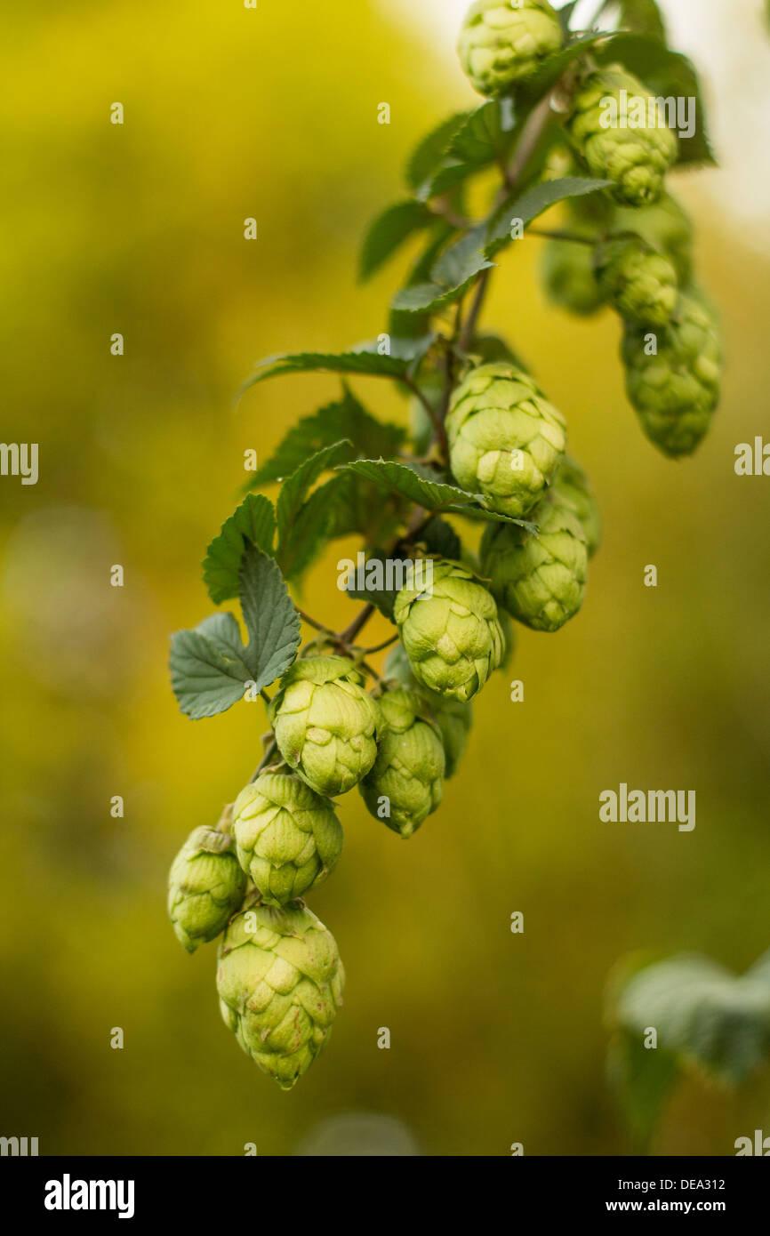 Hops - Stock Image