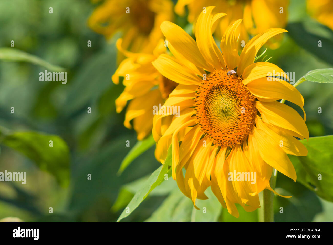 agriculture background beautiful beauty blossom blue bright sunflower color colorful country countryside day environment flower - Stock Image