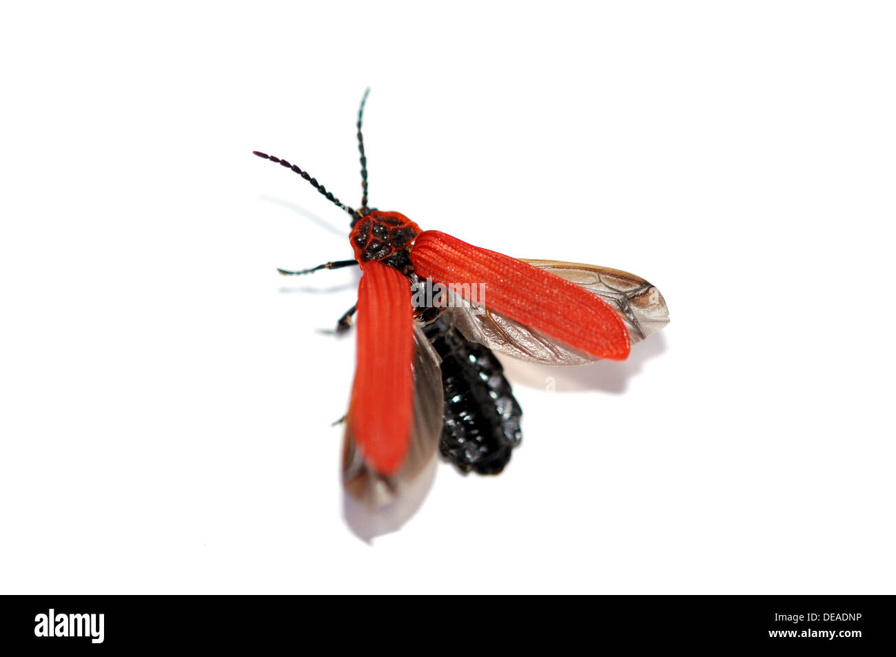 The red beetle Dictyoptera aurora about to fly - Stock Image
