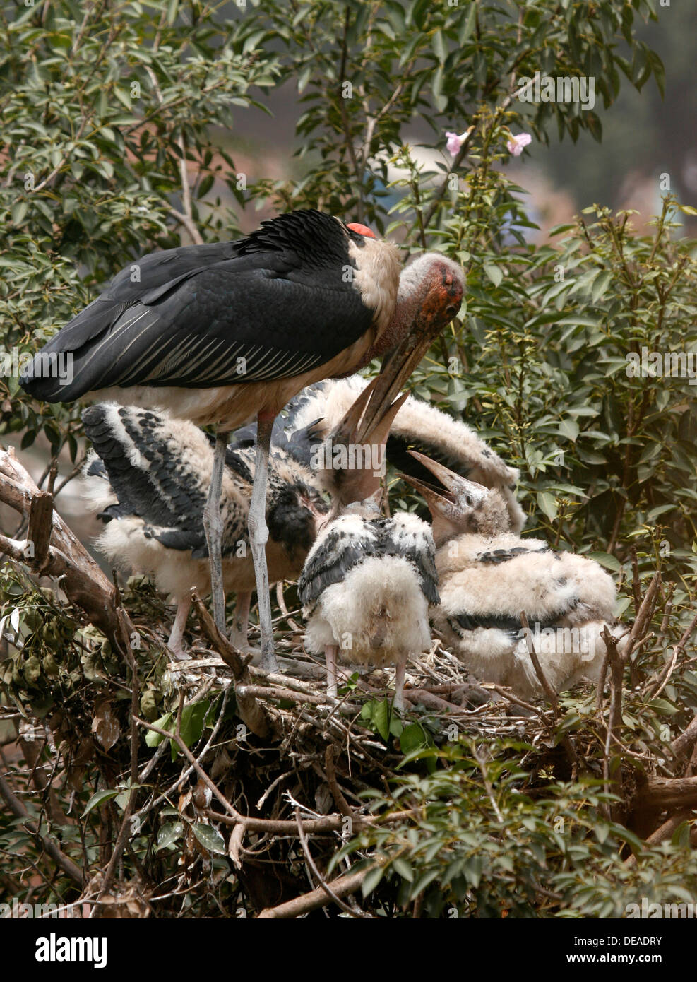 A marabou stork feeds its young in their nest. Uganda. - Stock Image
