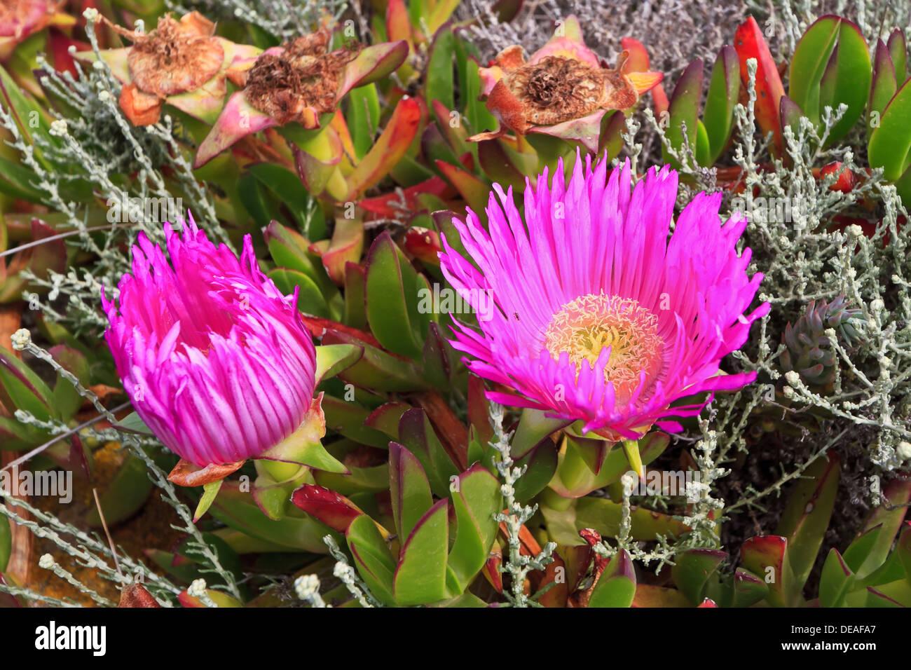 Carpobrotus Succulent Plant Pink Flowers Stock Photos Carpobrotus