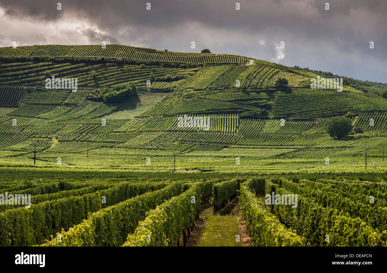 Vineyards, Weinberg, Katzenthal, Alsace, France Stock Photo