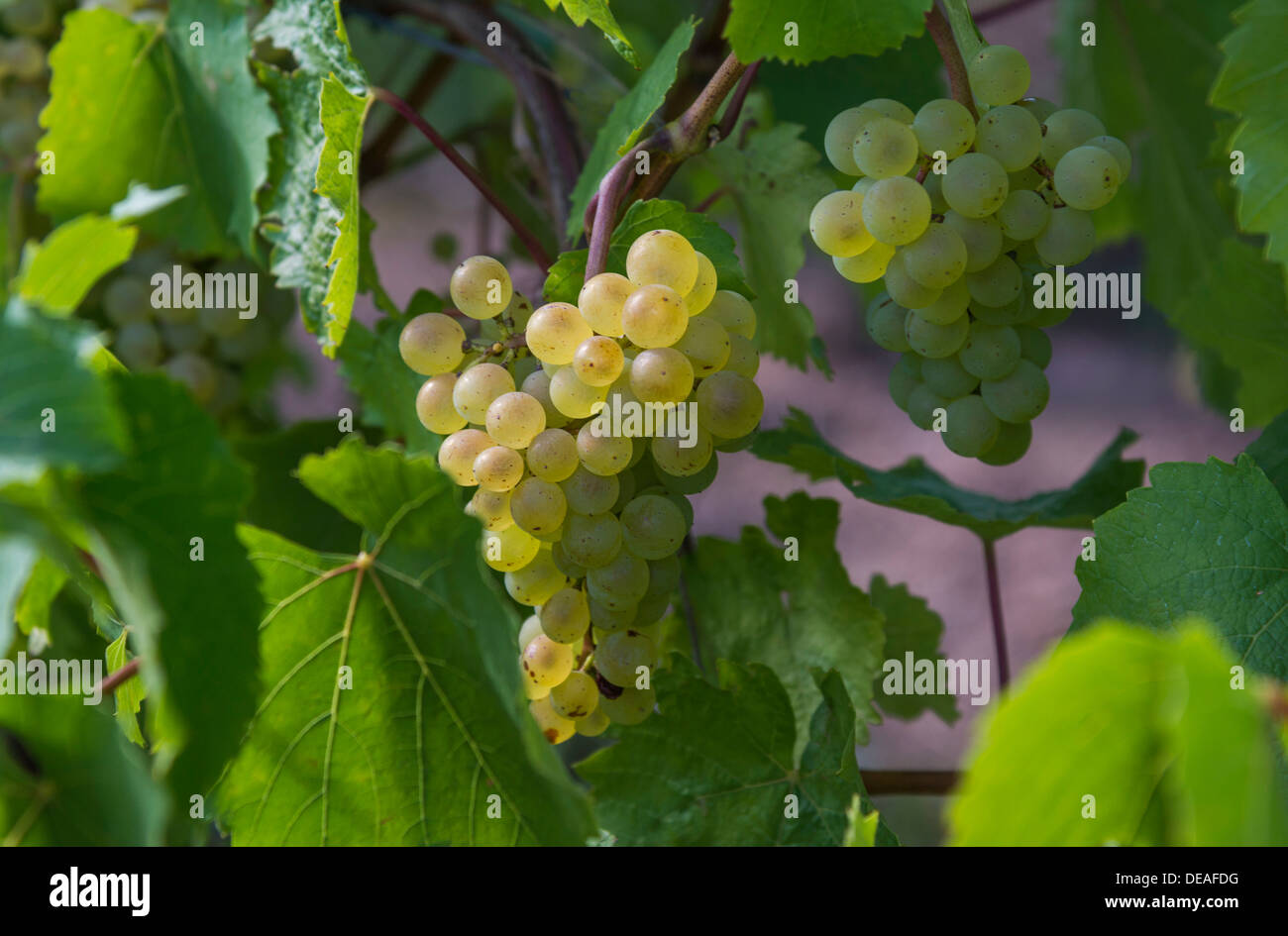 Grapes, Weinberg, Katzenthal, Alsace, France Stock Photo