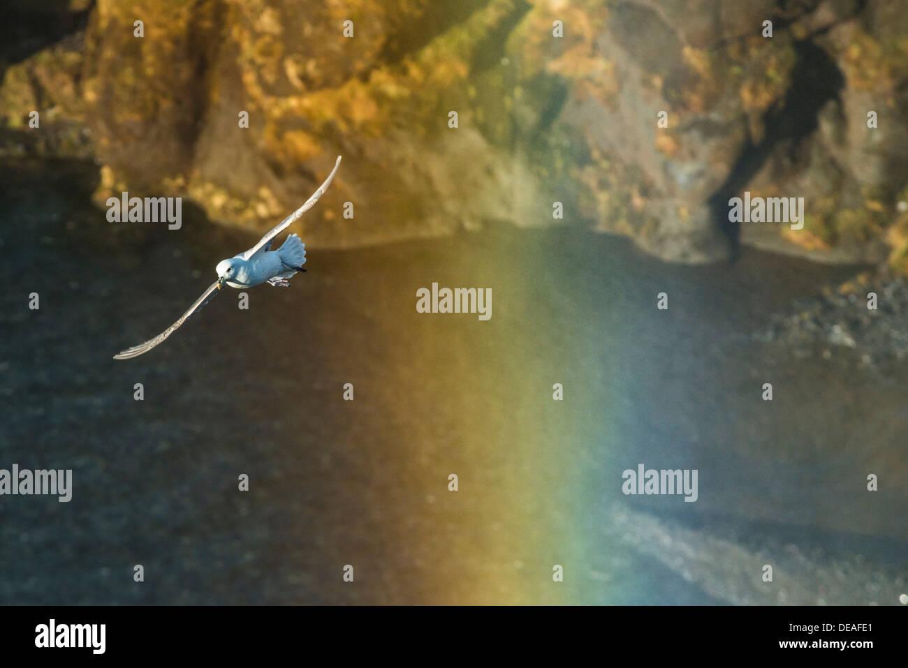 Fulmar, Northern Fulmar or Arctic Fulmar (Fulmarus glacialis) in flight, in the rainbow of a waterfall, Skogafoss, Skógar - Stock Image