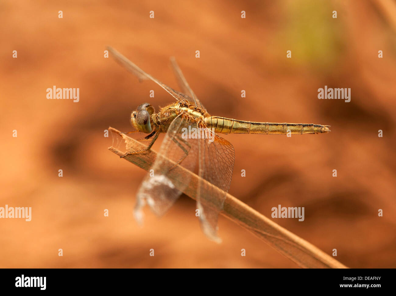 Dragonfly, Scarlet Skimmer or Crimson Darter (Crocothemis sevillia), female, Battambang, Cambodia, Asia - Stock Image