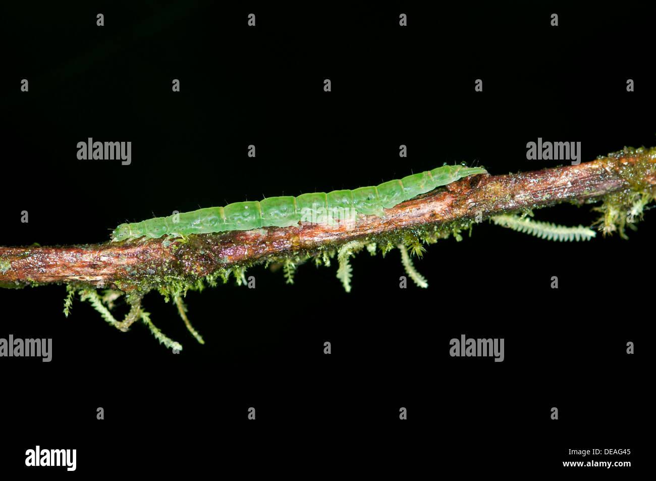 Caterpillar of an Owlet Moth in the genus of Hypena, Noctuidae, Tandayapa region, Andean mist rainforest, Ecuador, South America - Stock Image