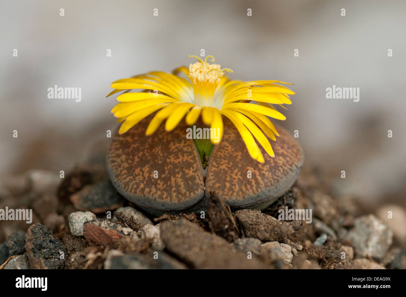 Blooming Lithops aucampiaea, Living Stone, Mesmbryanthemaceae - Stock Image