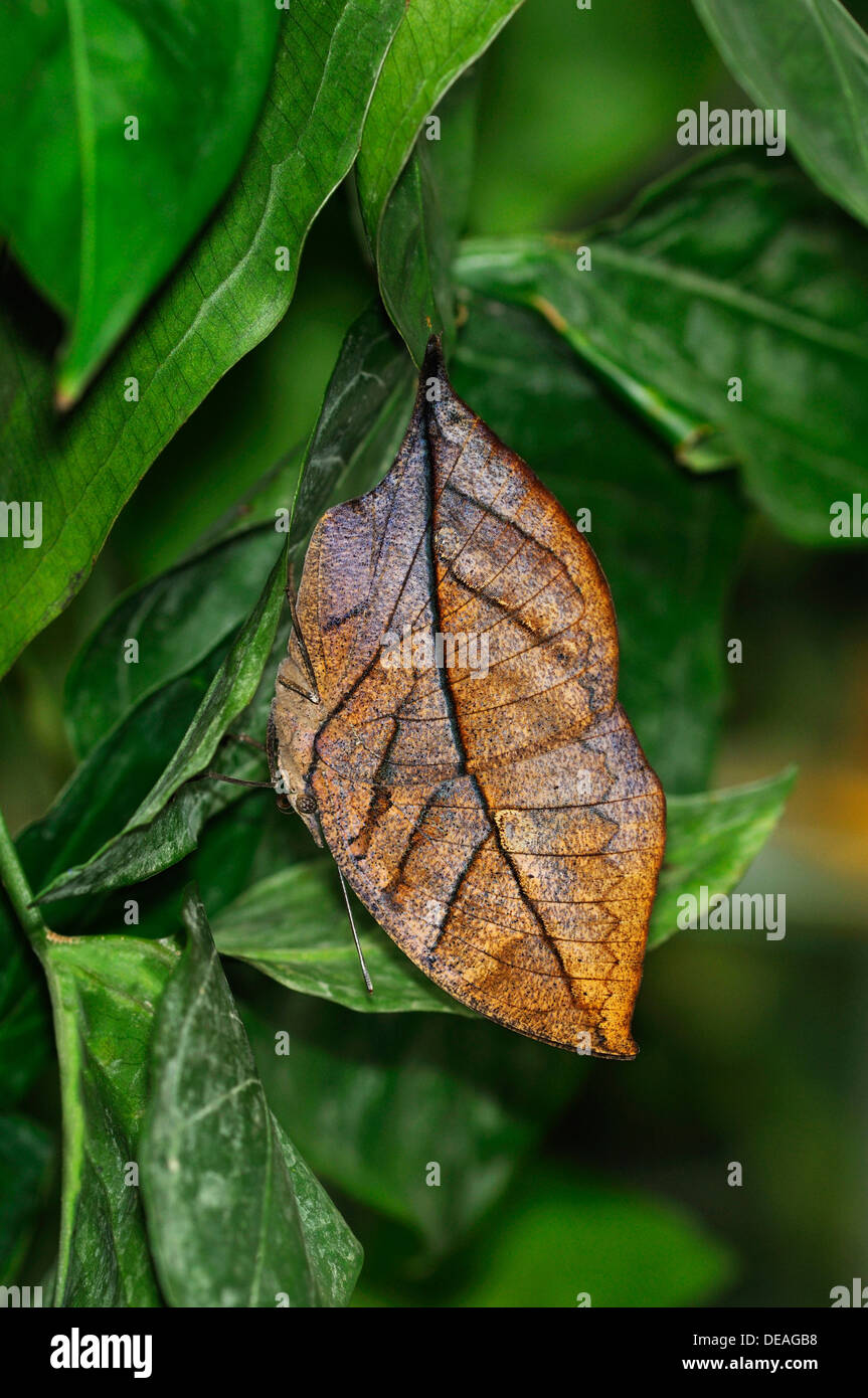 Indian or Malayan Leafwing Butterfly (Kallima paralekta), the closed wings mimic the shape and color of a withered leaf - Stock Image