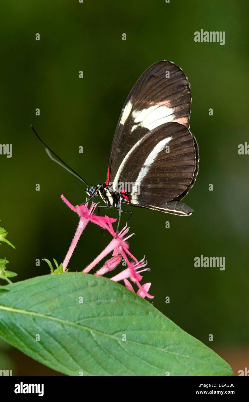 Postman Butterfly (Heliconius melpomene) - Stock Image