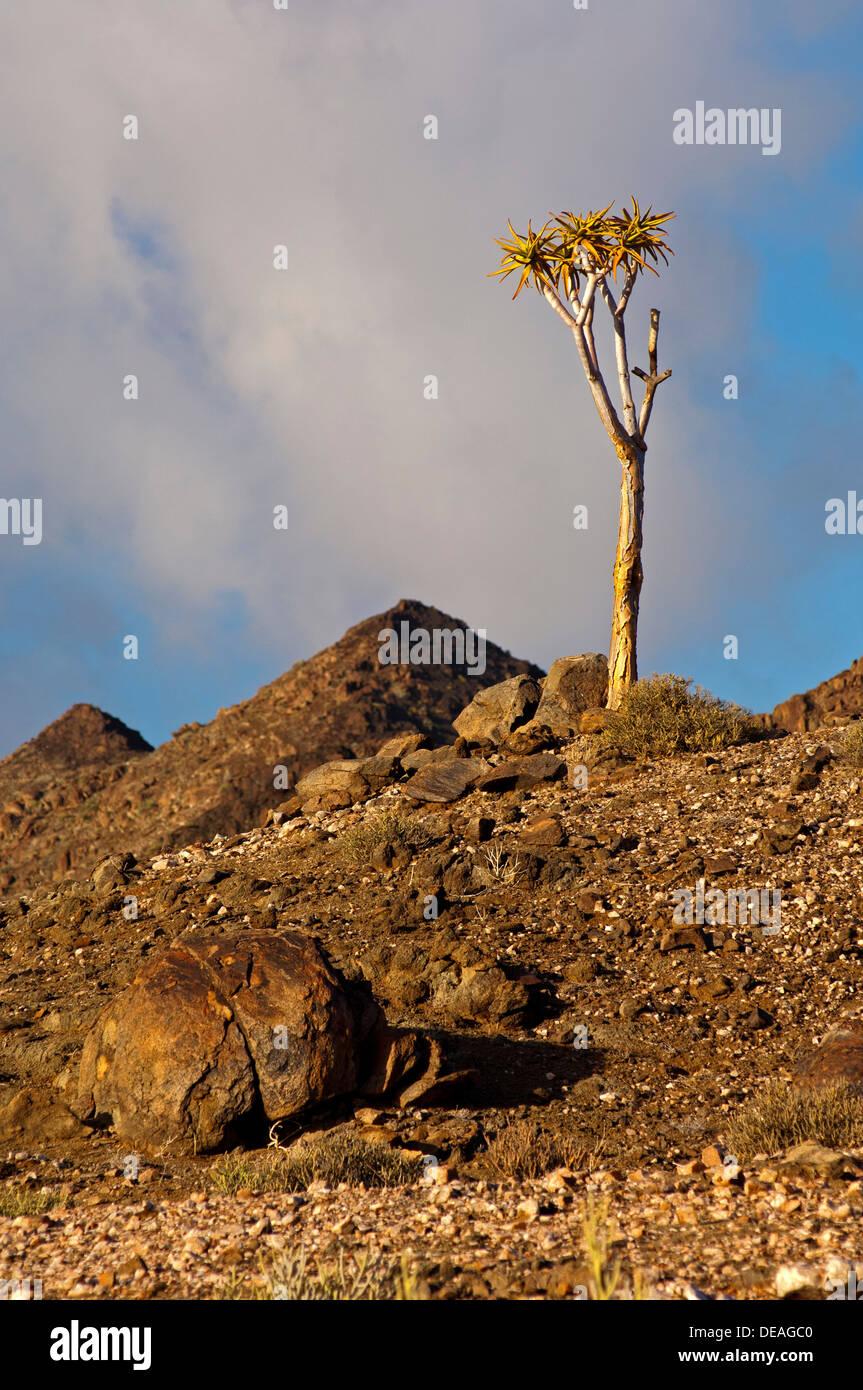 Giant Quiver Tree (Aloe pillansii), Richtersveld National Park, South Africa - Stock Image