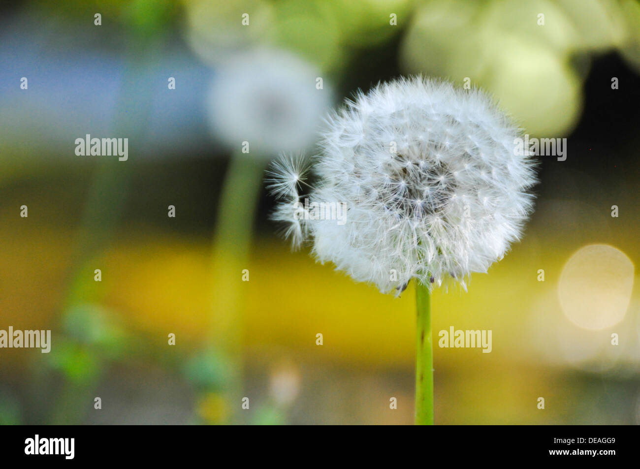 Dandelion - Fluffy sead ball. Photographed in Croatia in August Stock Photo