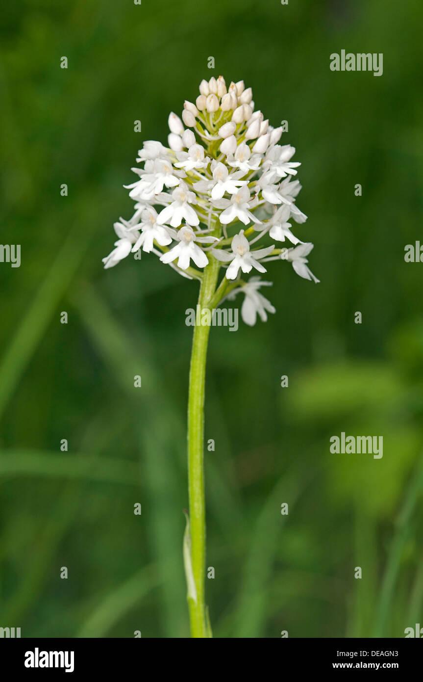 Rare white-flowering colour variation of Pyramidal Orchid (pyramidalis), Kaiserstuhl, Baden-Württemberg, Germany - Stock Image