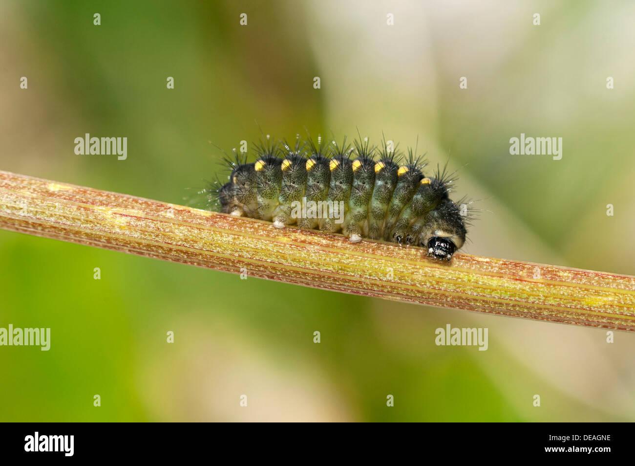 Mountain Burnet or Scotch Burnet (Zygaena exulans), caterpillar, Sanetschpass, Switzerland - Stock Image
