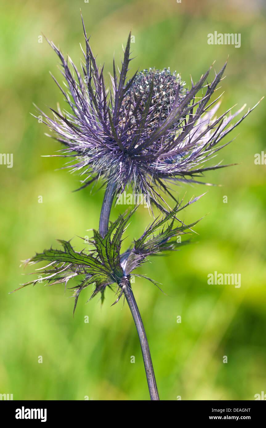 Alpine Sea Holly, Alpine Eryngo or Queen of the Alps (Eryngium alpinum), inflorescence, Malbun, Liechtenstein Alps, Stock Photo