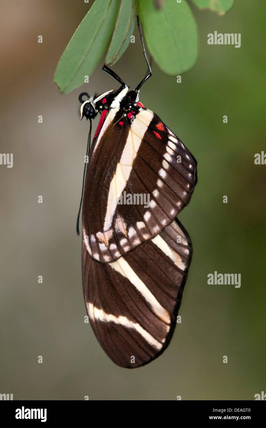 Zebra Longwing Butterfly (Heliconius charithonia), Kerzers, Switzerland - Stock Image