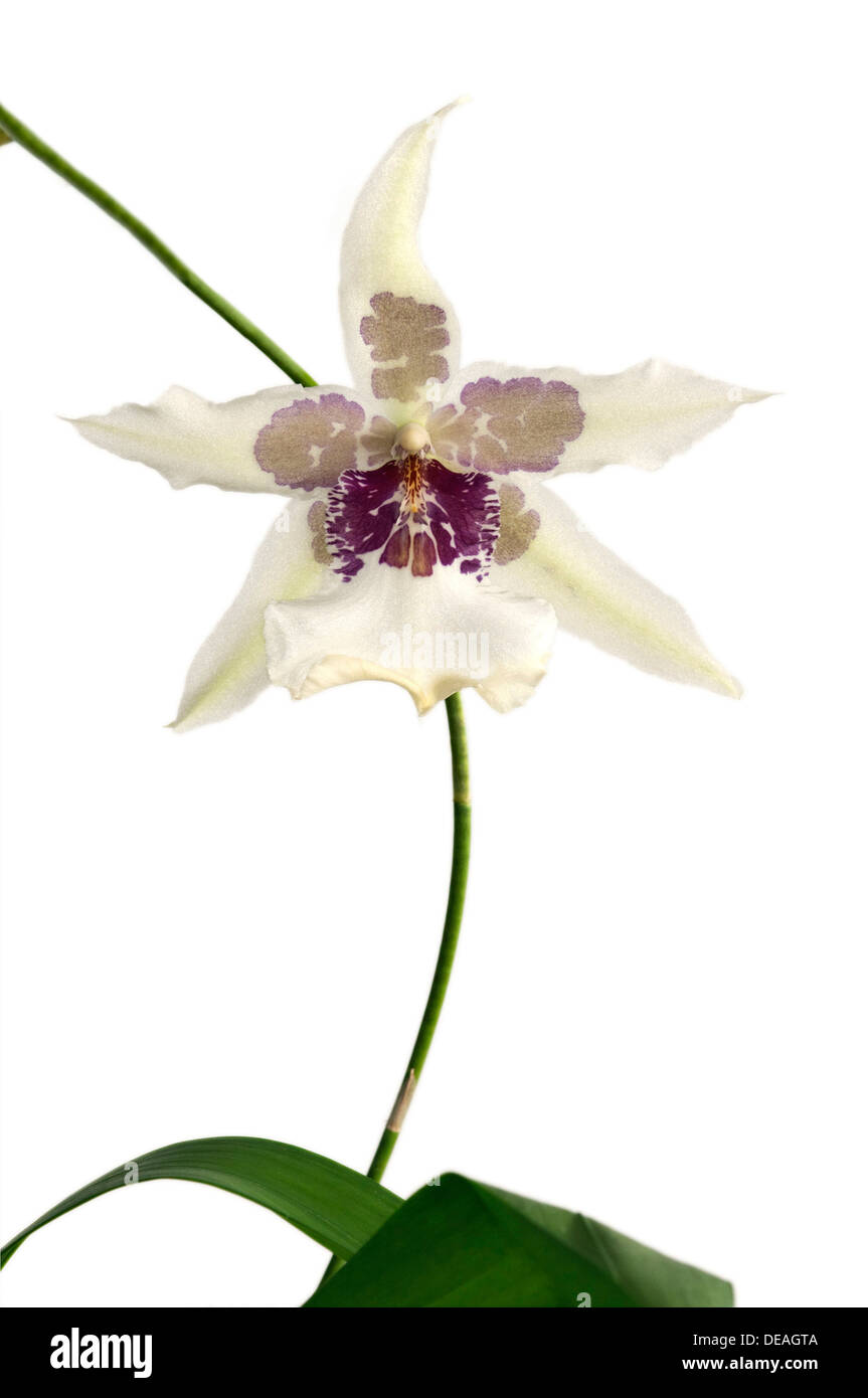 Flowering Tahoma Glacier Beallara hybrid orchid Stock Photo