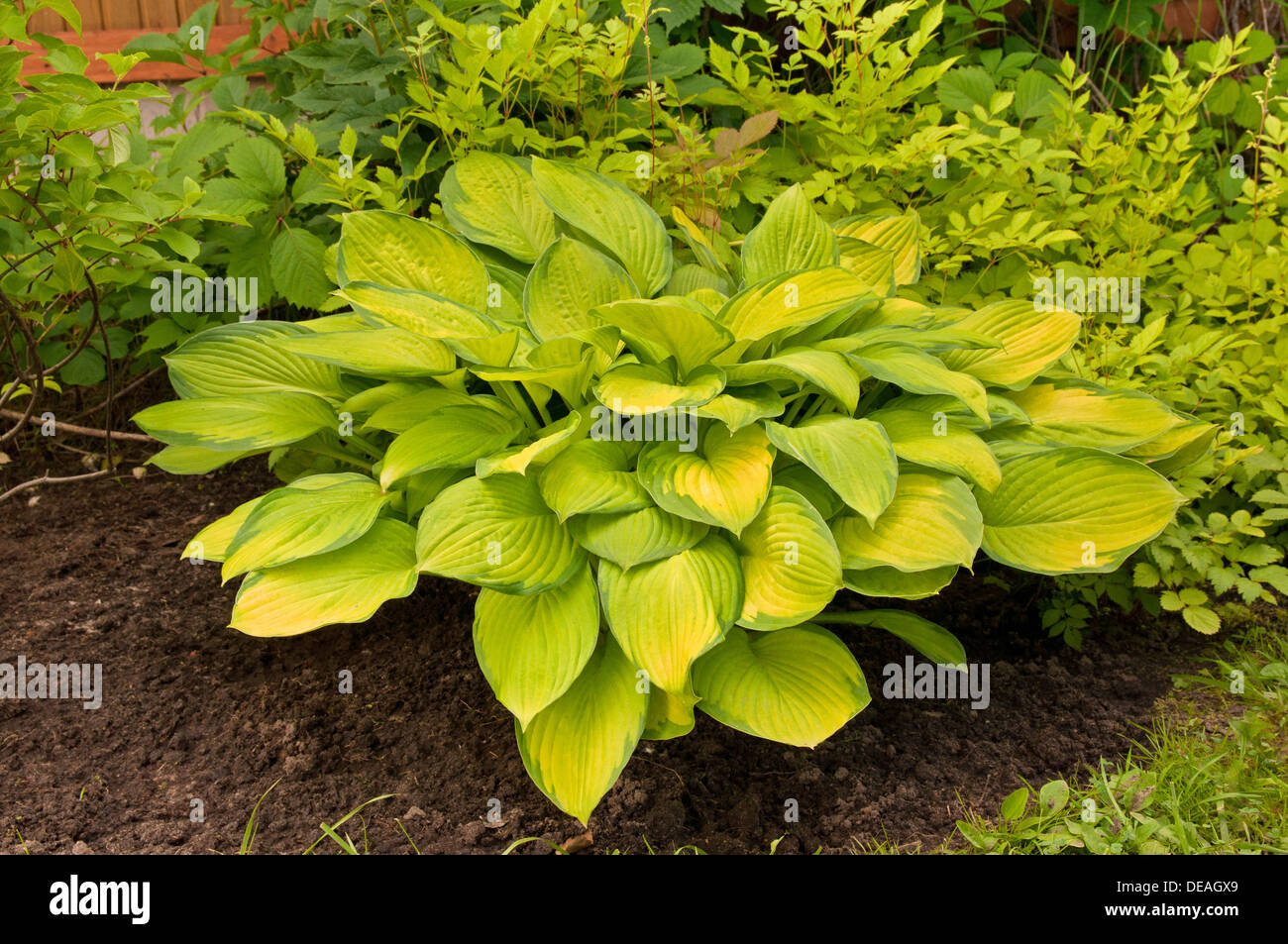 Hosta With Yellow Leaves In The Garden Stock Photo 60469089 Alamy