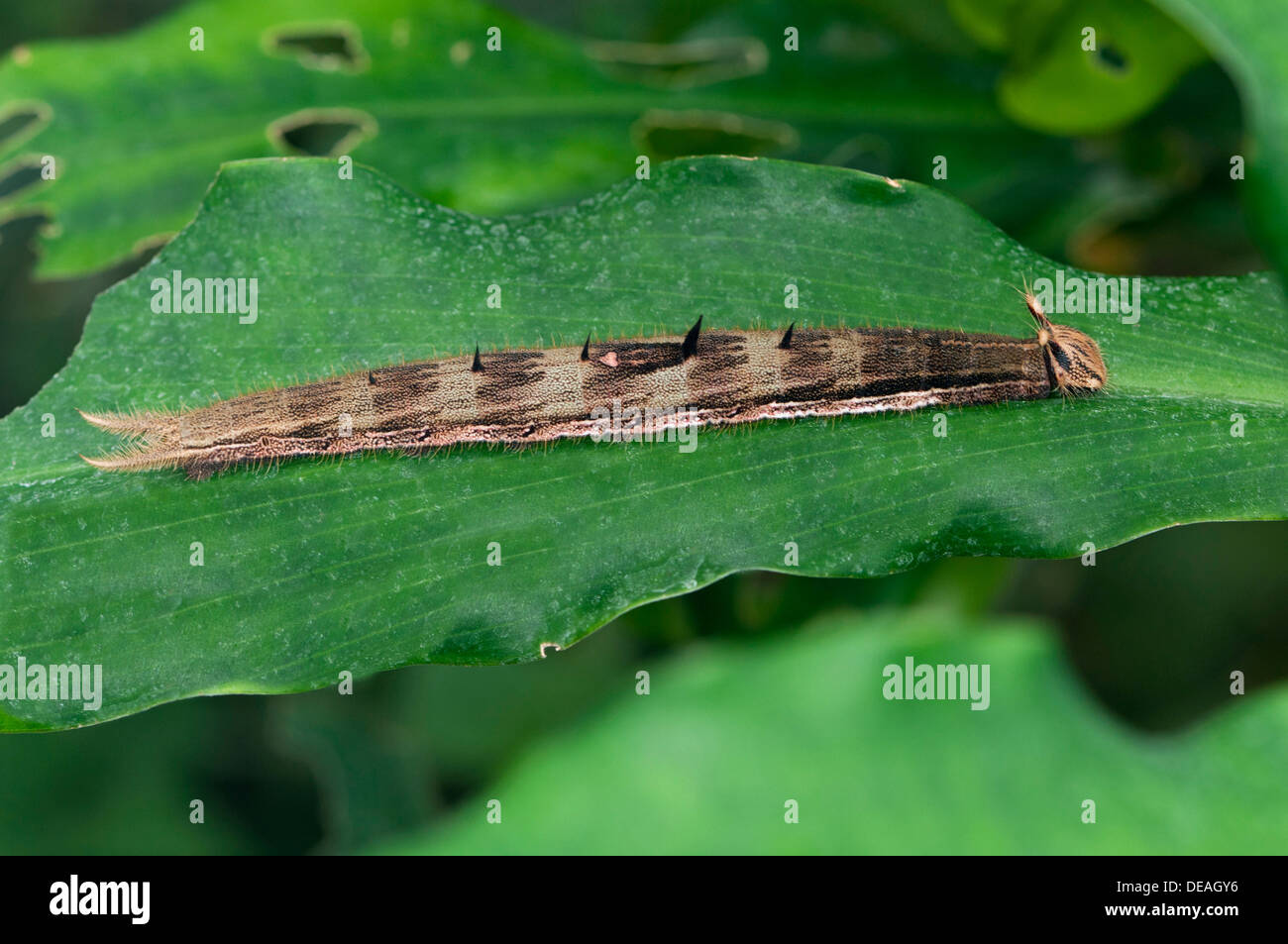 Caterpillar of an Owl Butterfly (Caligo sp.), Kerzers, Switzerland - Stock Image