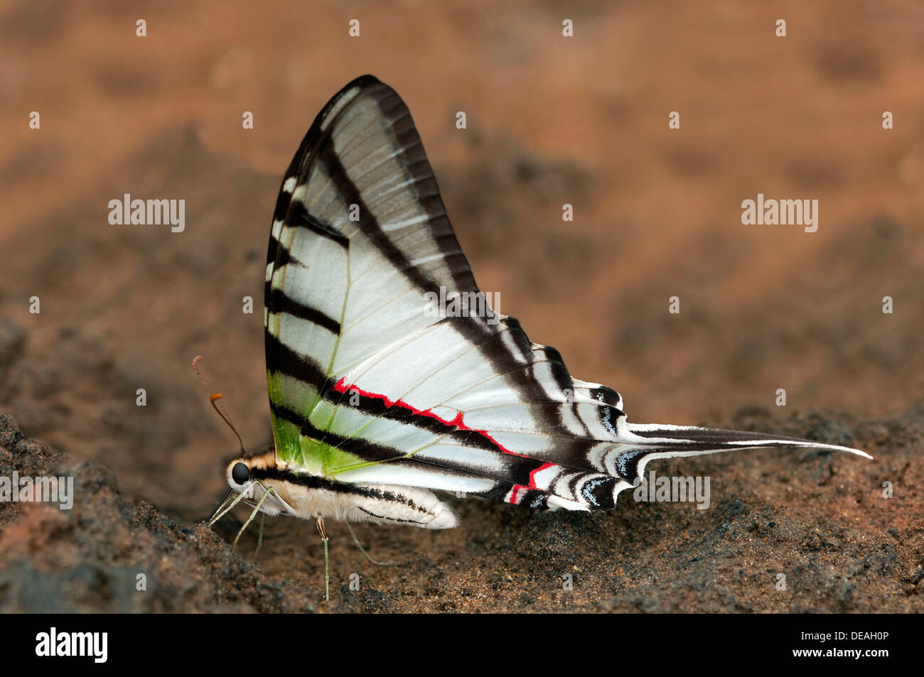 Swallowtail butterfly (Protesilaus glaucolaus), Tambopata Nature Reserve, Madre de Dios, Madre de Dios Region, Peru - Stock Image