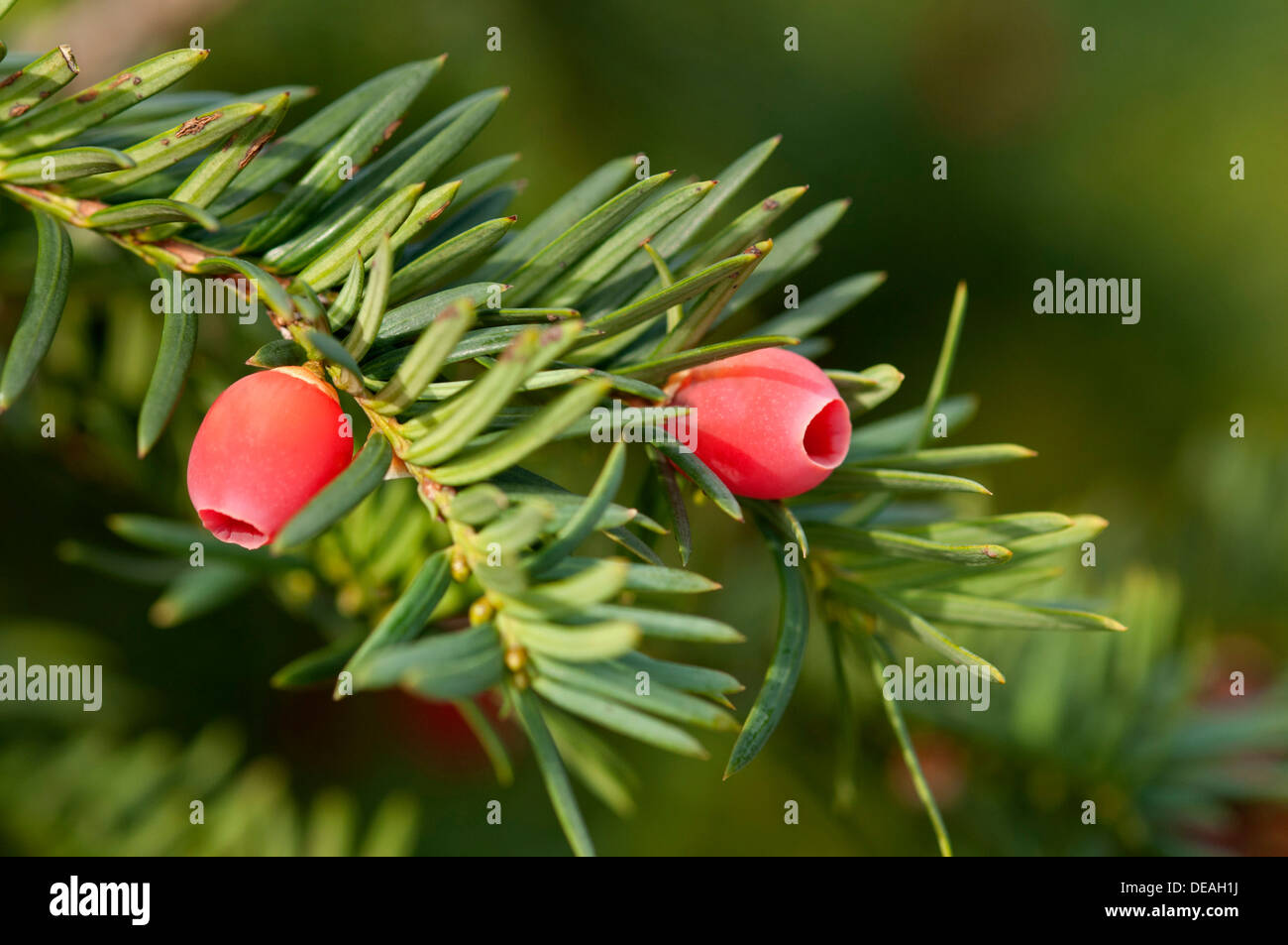 english yew or european yew taxus baccata branch with fruit stock