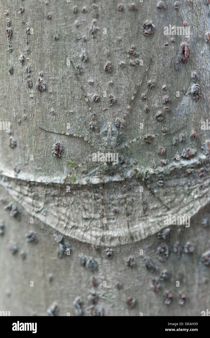 Nursery web spider (Pisauridae spec.) sitting perfectly camouflaged on a tree trunk, Tambopata Nature Reserve - Stock Image
