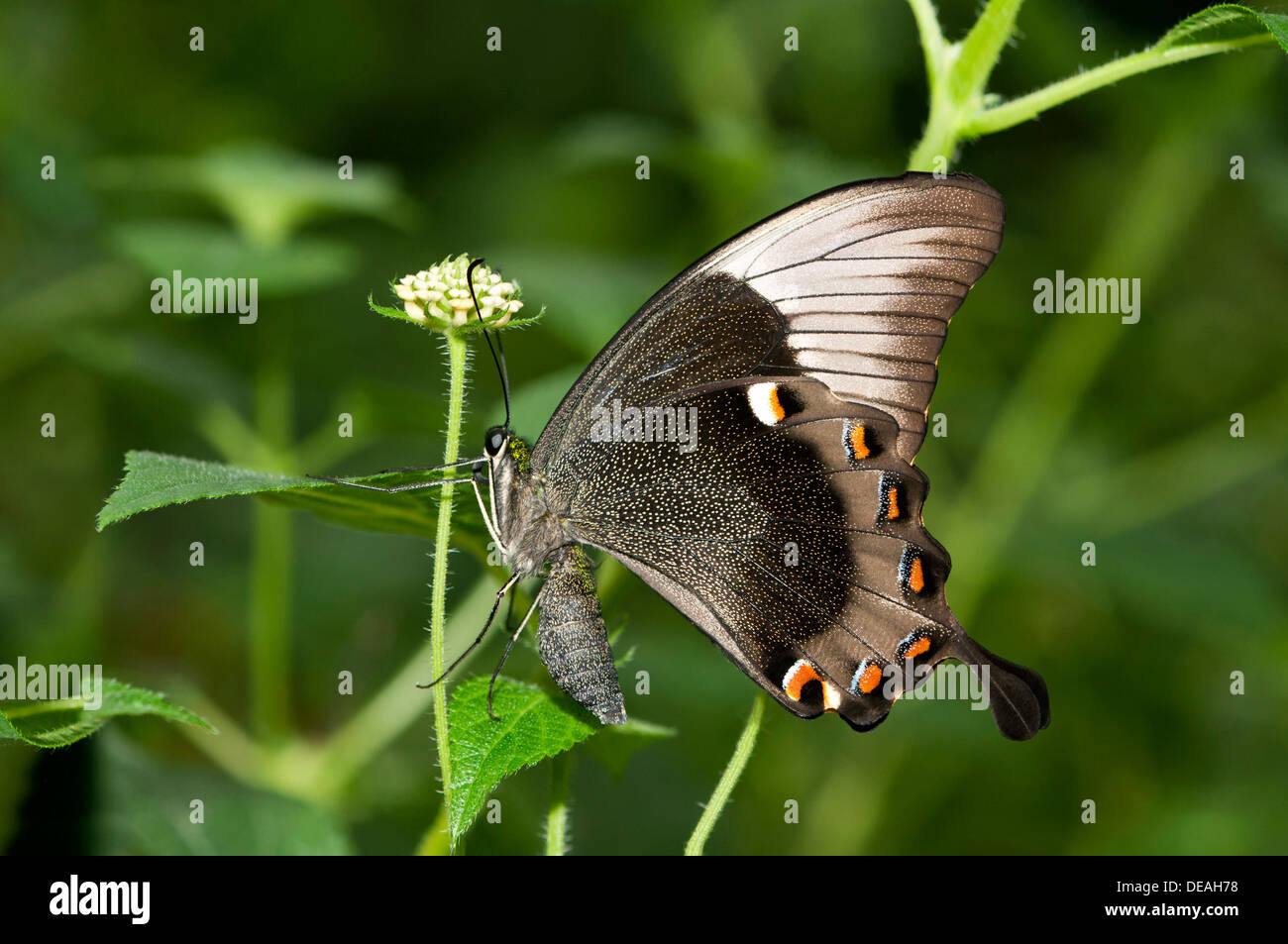 Ulysses butterfly, Blue Mountain Swallowtail or Blue Mountain butterfly (Papilio ulysses), Australia - Stock Image