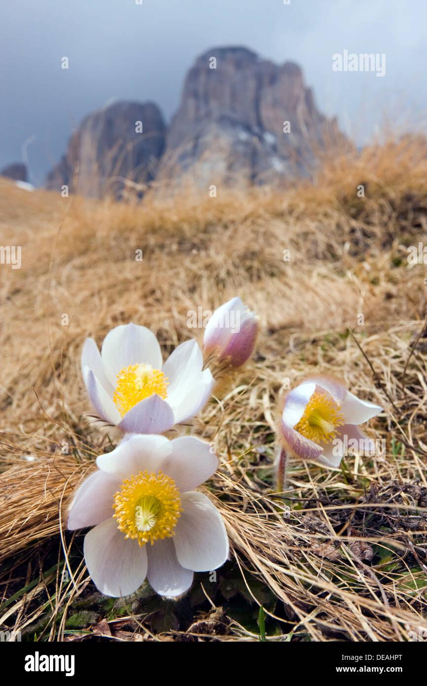 Spring Pasque flowers (Pulsatilla vernalis, Anemone vernalis) on the Pian dai Manc below Zahnkofel peak, Dolomites, Italy - Stock Image