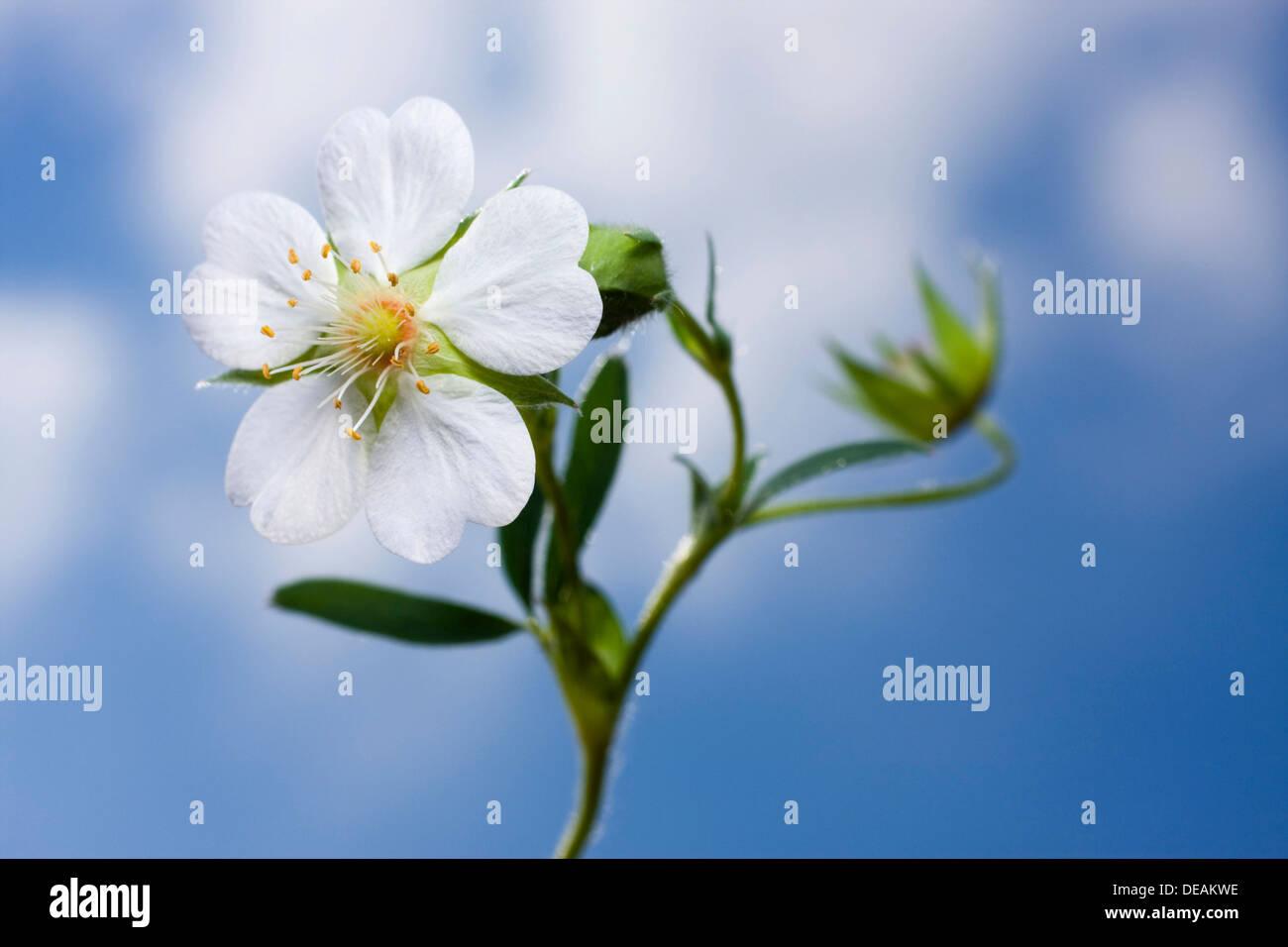 White Cinquefoil (Potentilla alba) Stock Photo