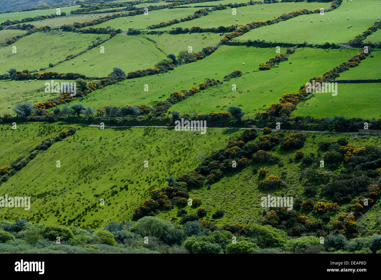 Sheep runs in lush green, encircled by hedgerows, Republic of Ireland, Europe - Stock Image