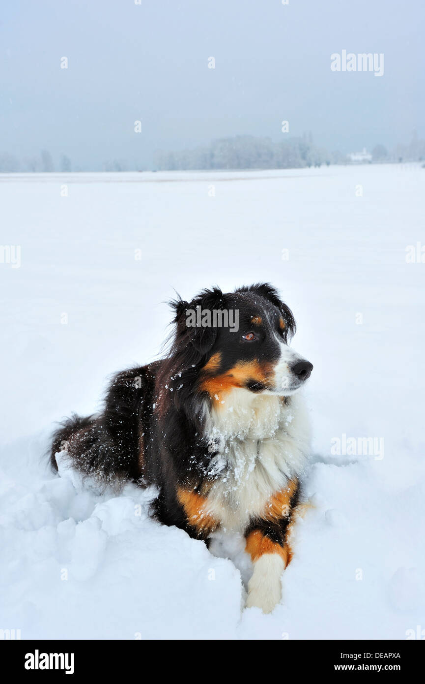 Portrait Of A Dog Cross Between A Border Collie And An