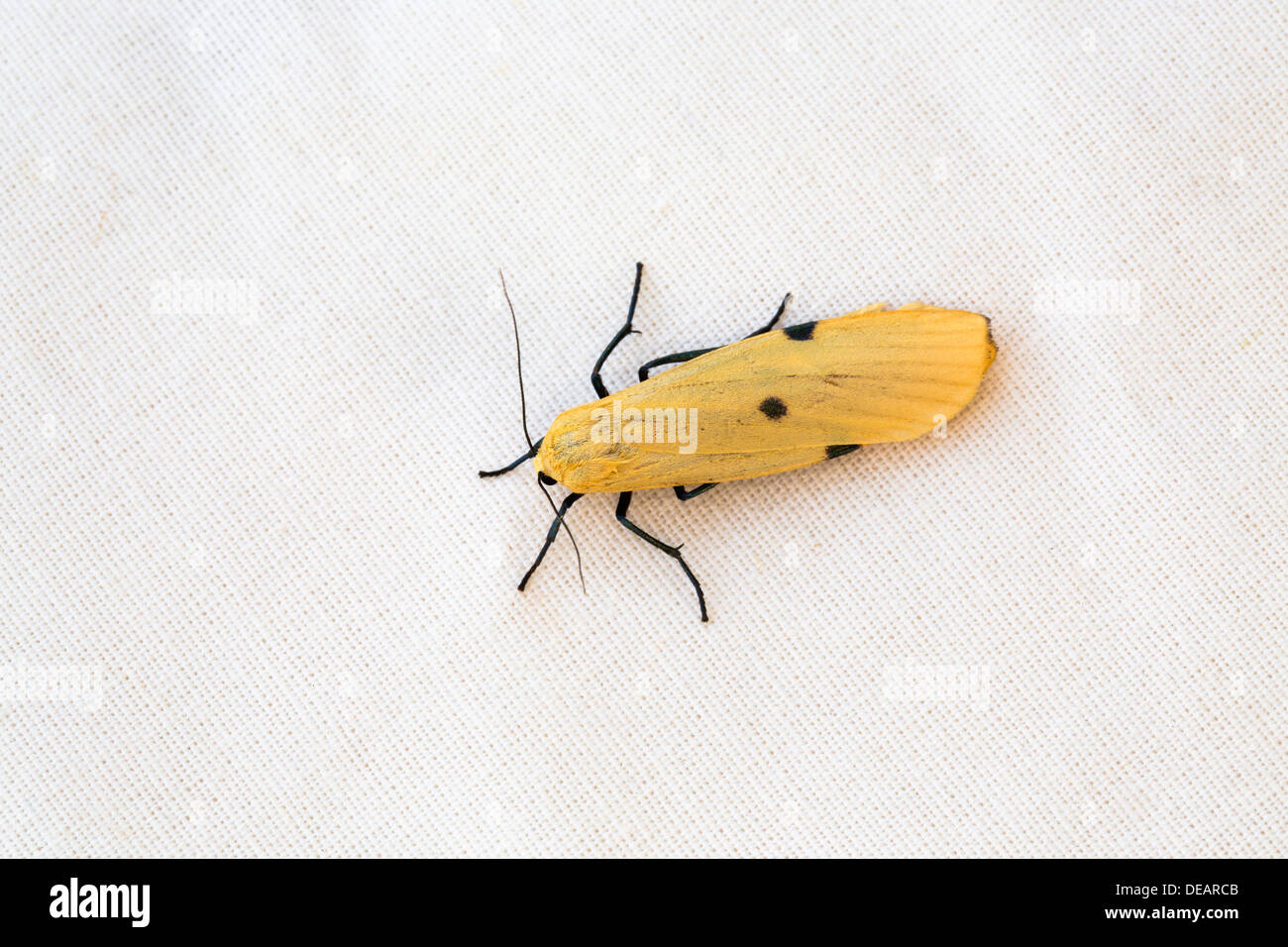 Four Spotted Footman Moth; Lithosia quadra; Female; UK - Stock Image