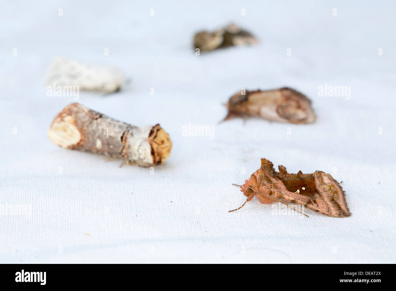 Moths on a White Sheet; Includes Plain Golden Y; Buff Tip; Others; Summer; UK - Stock Image