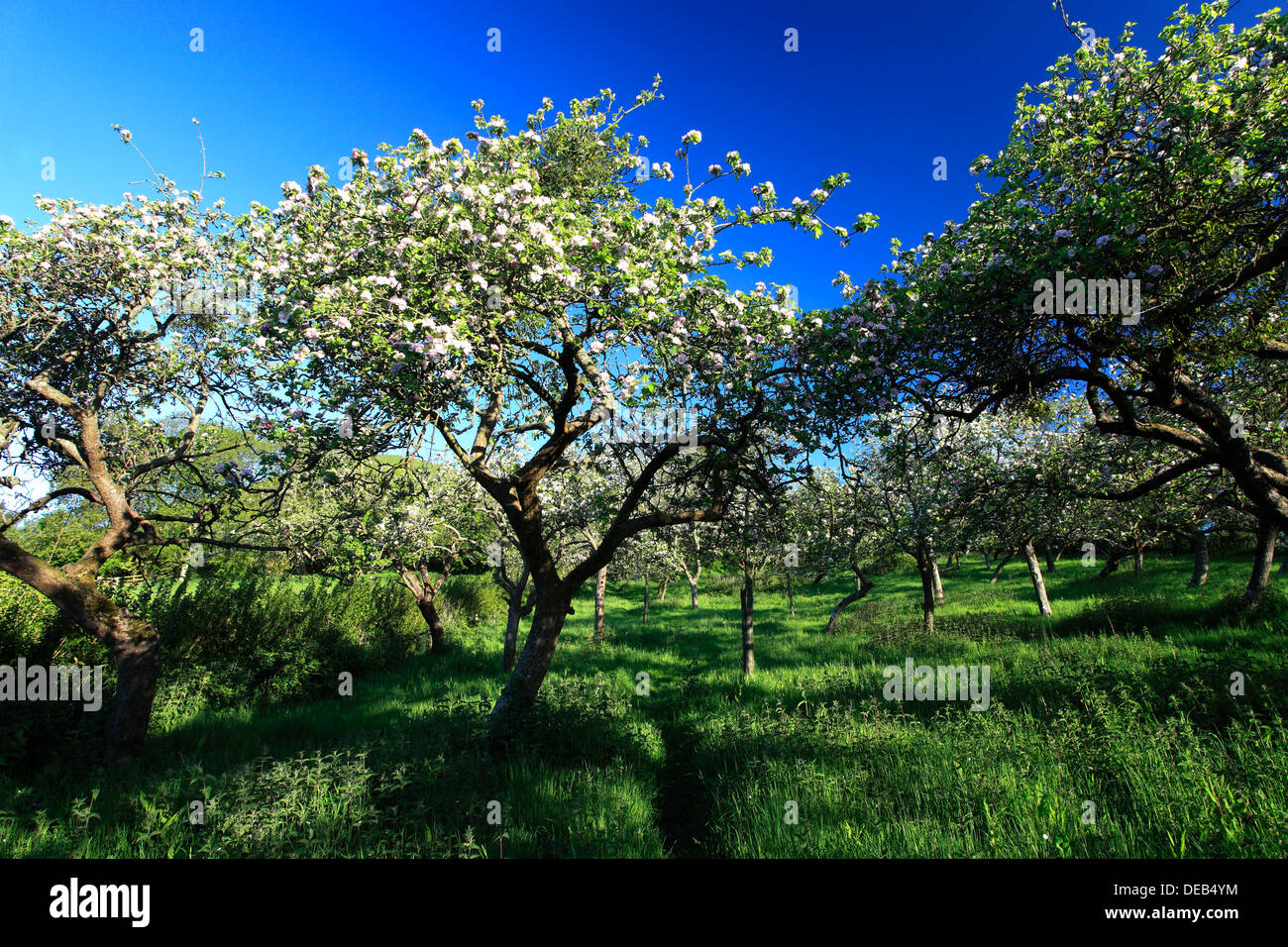 Summer view over Cider Apple Orchard trees, Somerset Levels