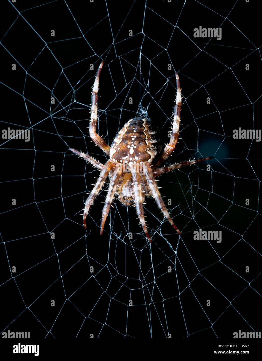 Spider - Orb weaver spider in the net - Stock Image