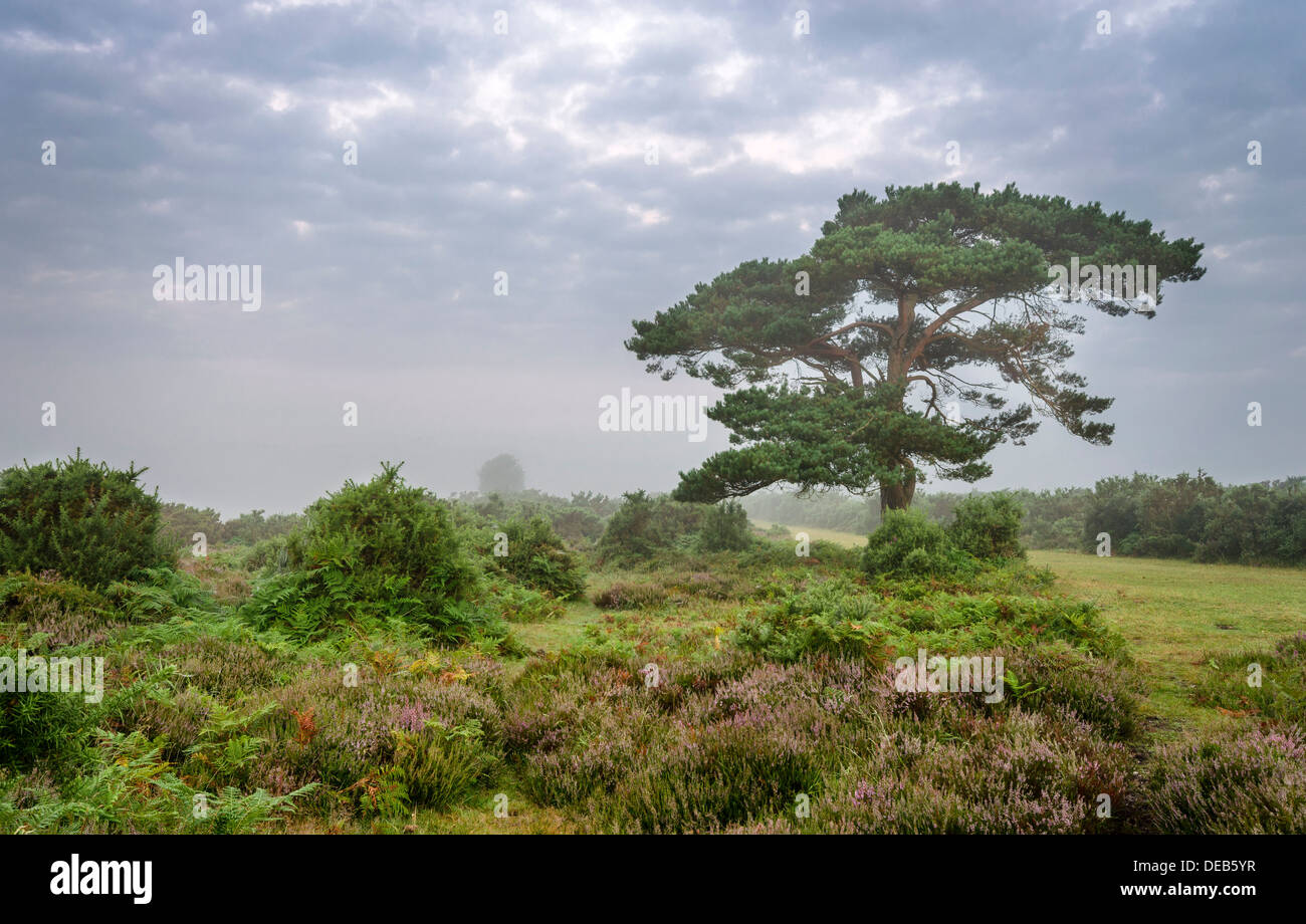 A foggy morning at the lone pine tree at Bratley View in the New Forest - Stock Image