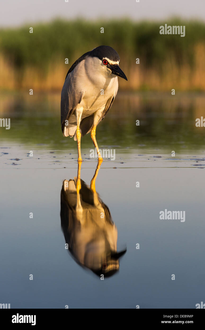 Black-crowned night heron (Nycticorax nycticorax) standing in shallow water in a marsh, early morning light, front view - Stock Image