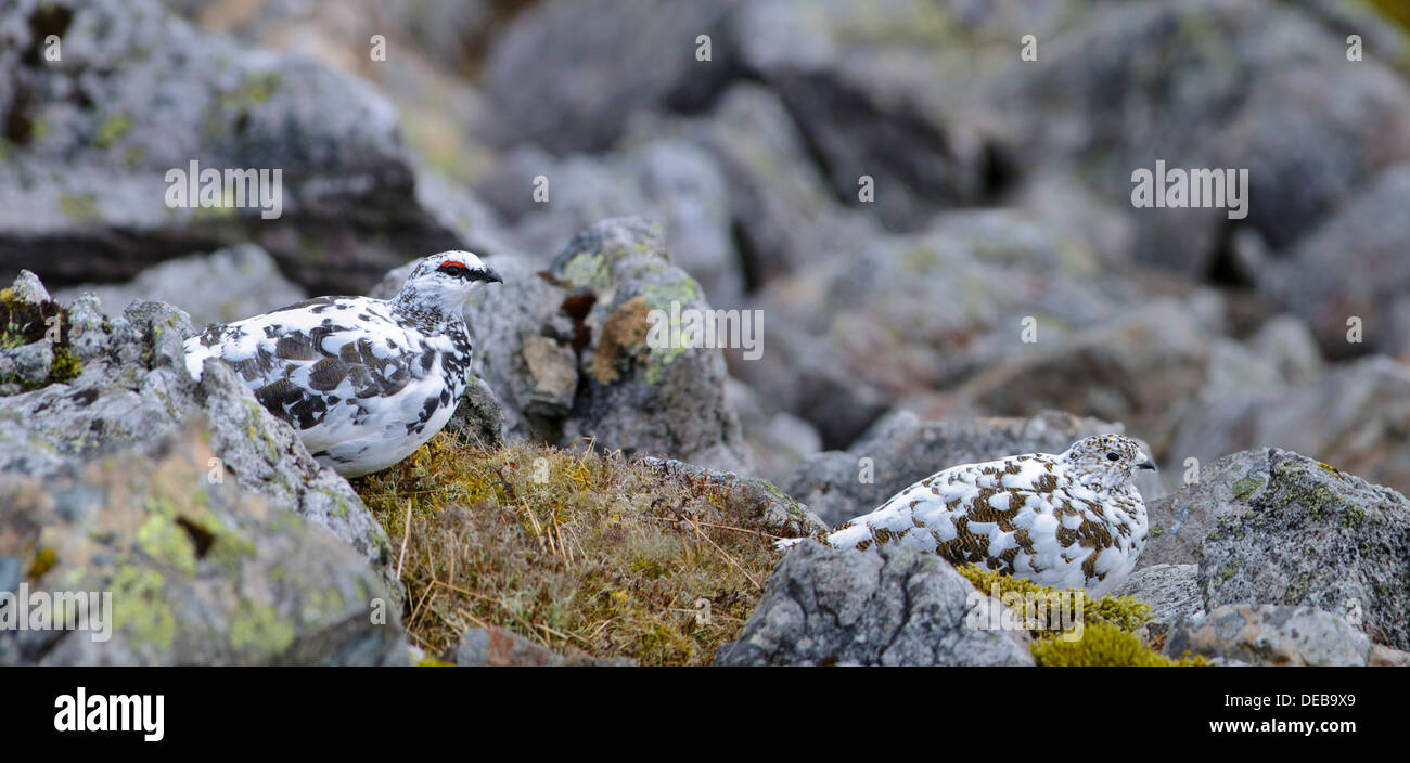 A pair (male left and female right) of ptarmigan (Lagopus mutus) high up on The Cairnwell in the Cairngorms National Park - Stock Image